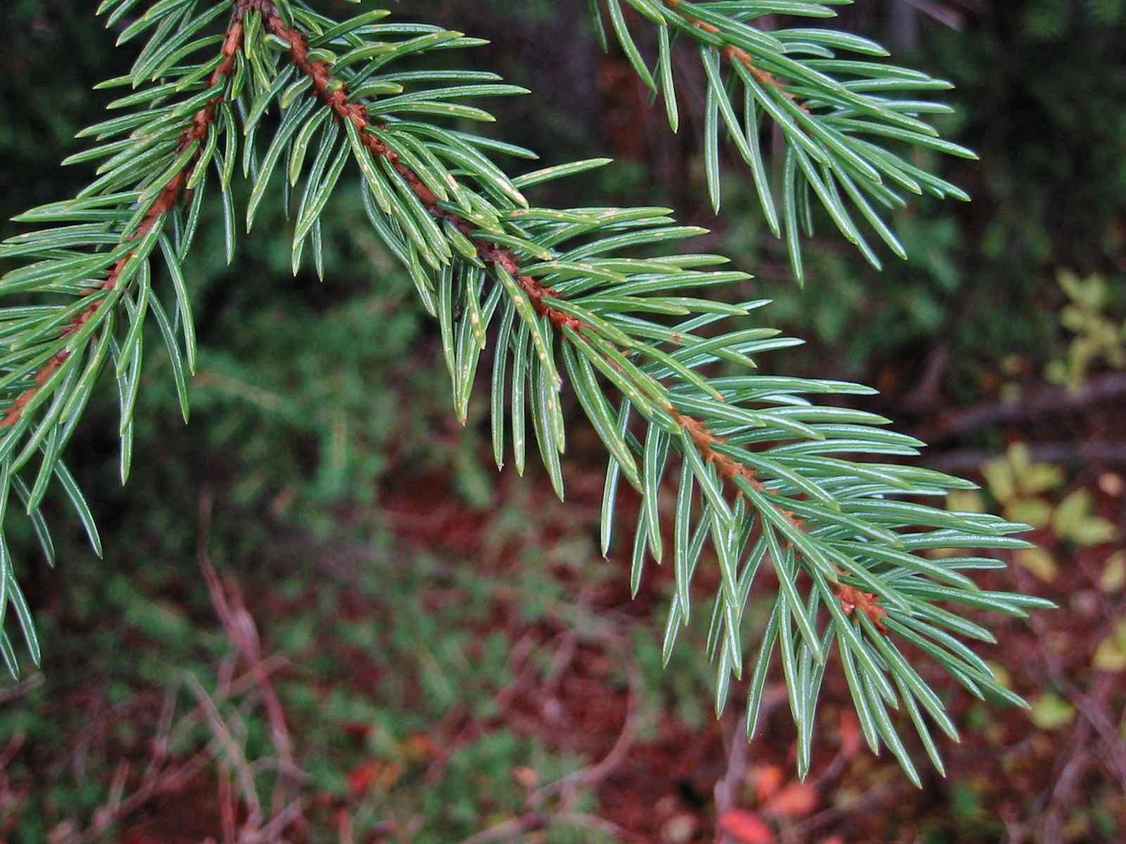 Engelmann spruce tree branch.