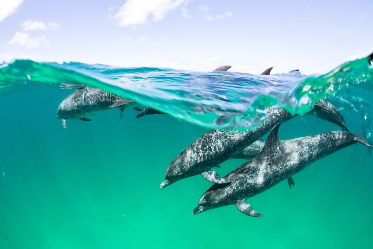 Atlantic spotted dolphin in the waters north of Bimini, Bahamas