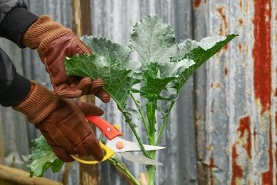 hands in gardening gloves use large shears to cut off kale leaves