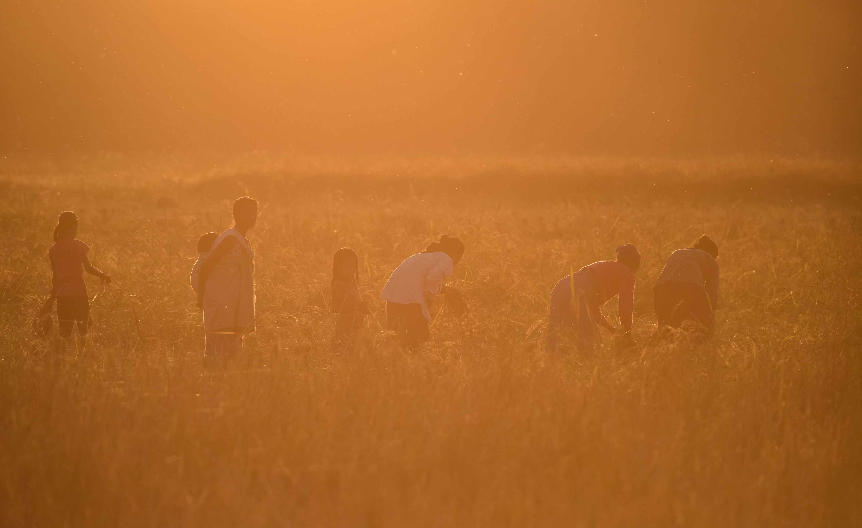 rice farmers in Assam, India