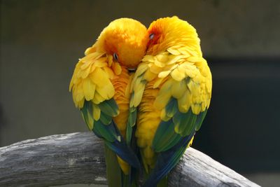Pair of parakeets