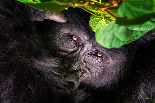 mountain gorilla peeking through vegetation in Uganda