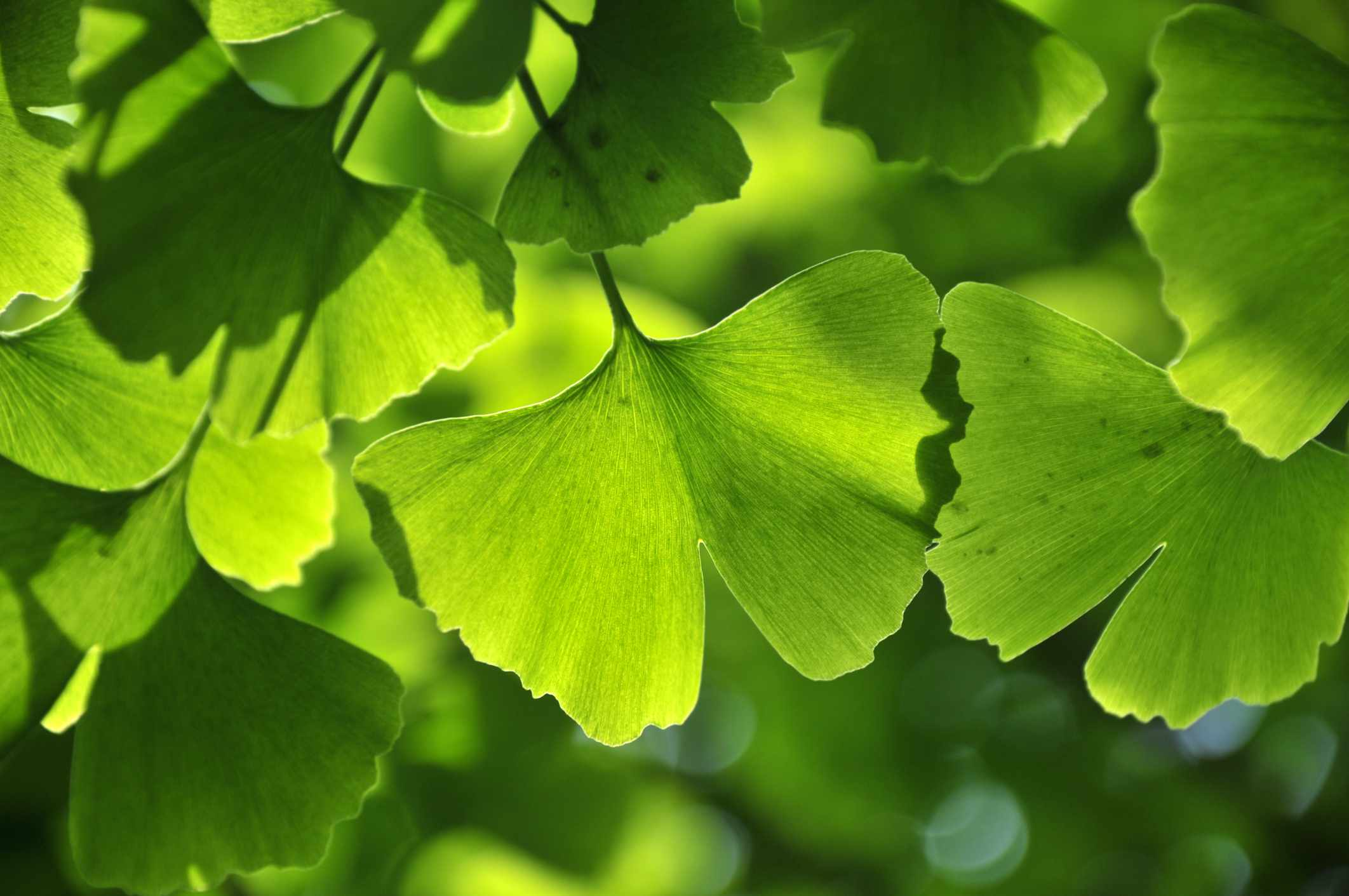 Close up of green gingko leaf in spring