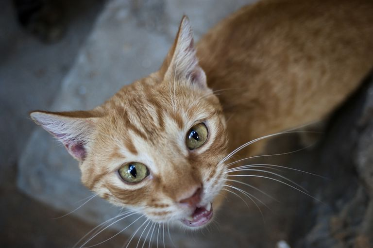 Ginger cat looking at the camera and meowing