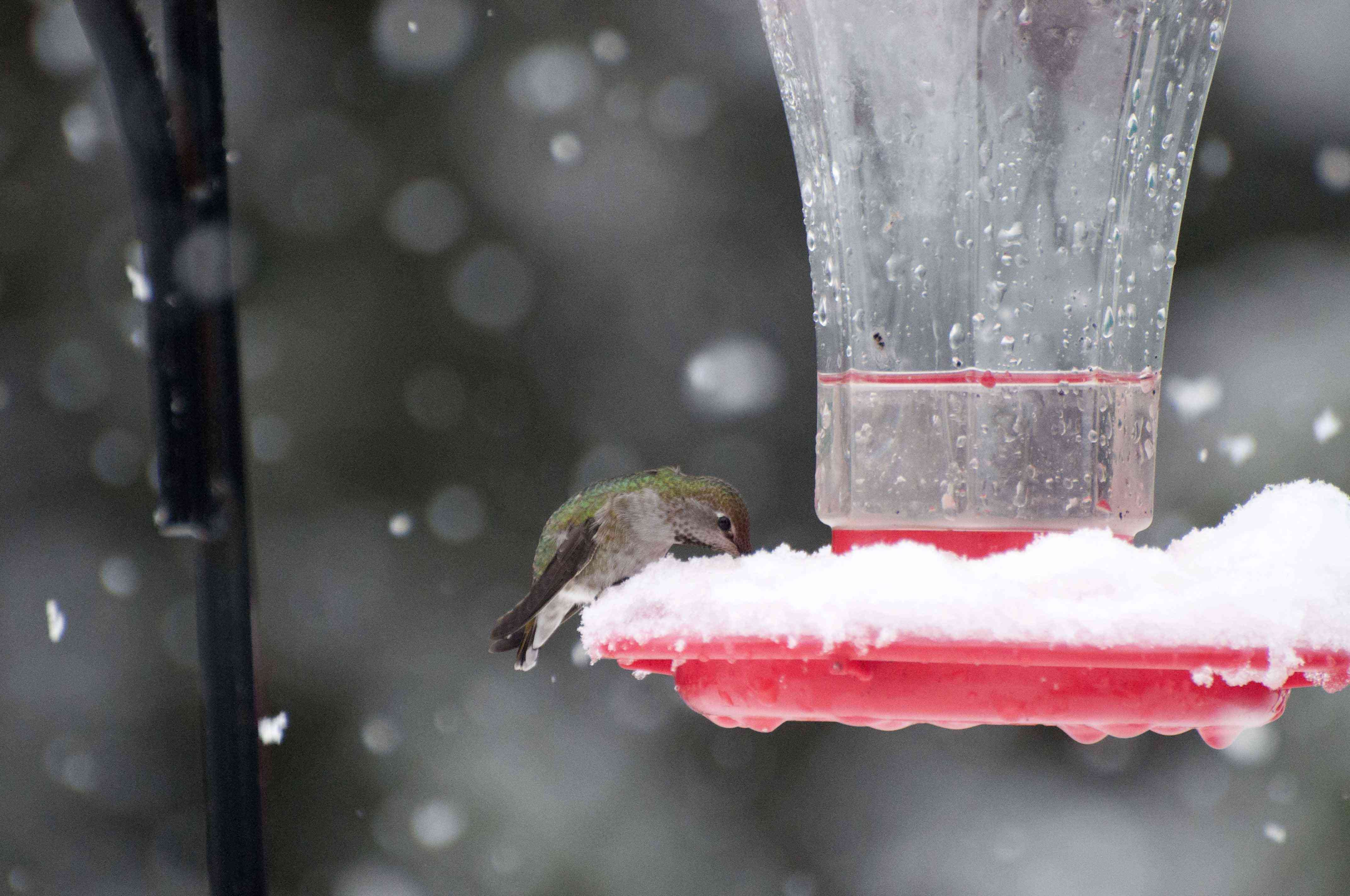 hummingbird at a hummingbird feeder in the snow