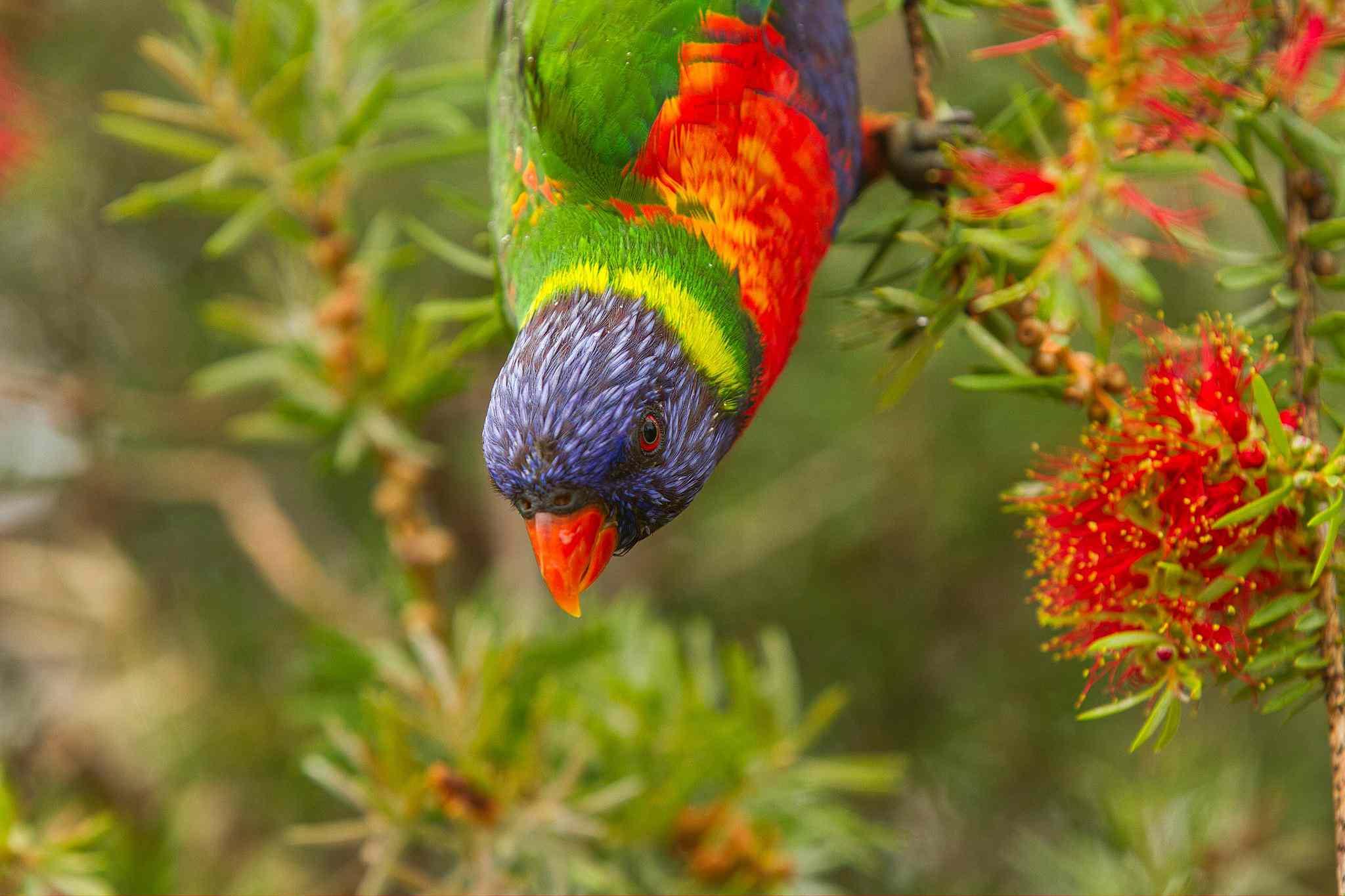 colorful rainbow lorikeet feeding on flowers