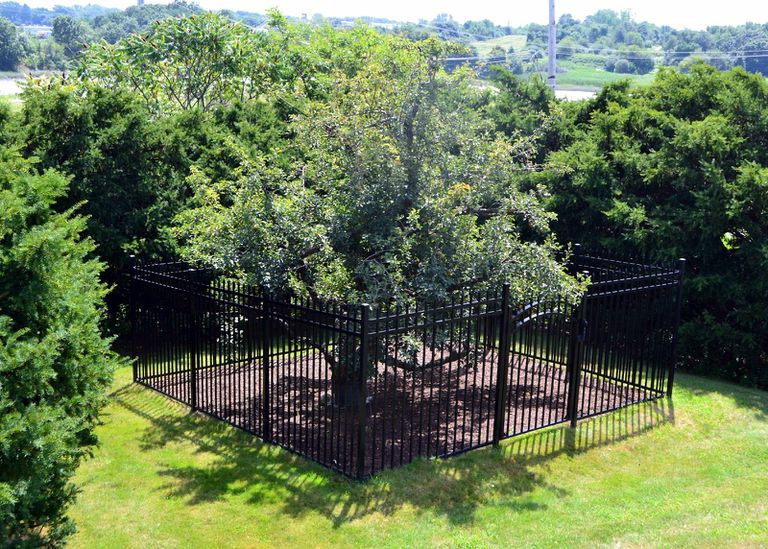 Uno de los primeros árboles frutales de EE. UU. plantado por colonos europeos sigue vivo y sano a la edad de 383+