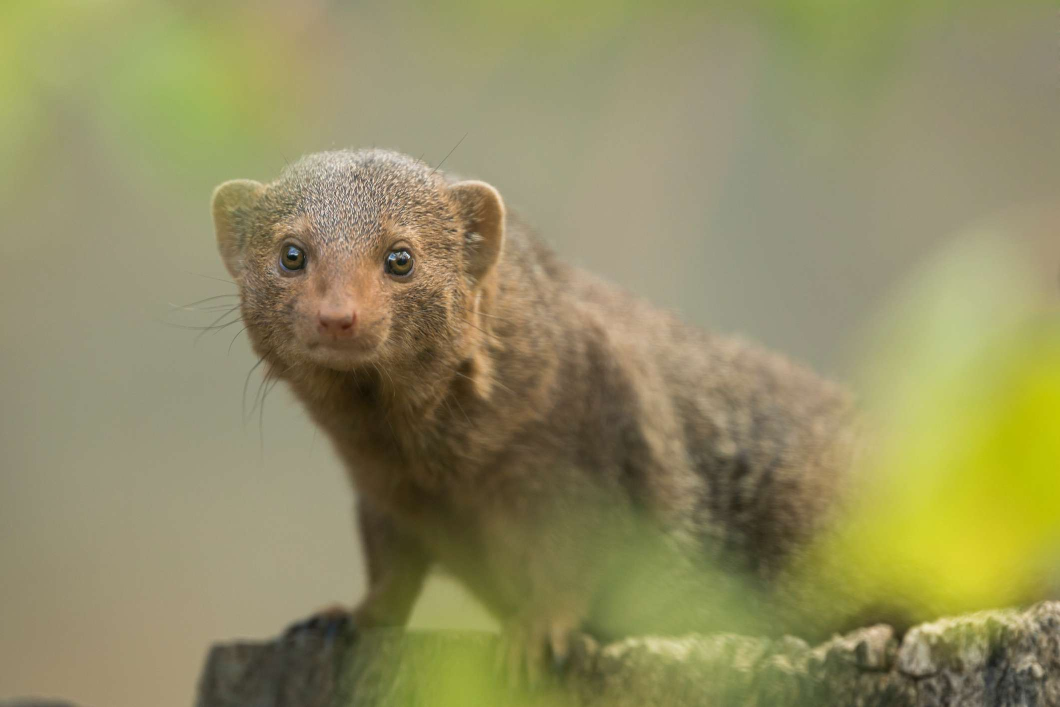 a brown dwarf mongoose on a brown surface