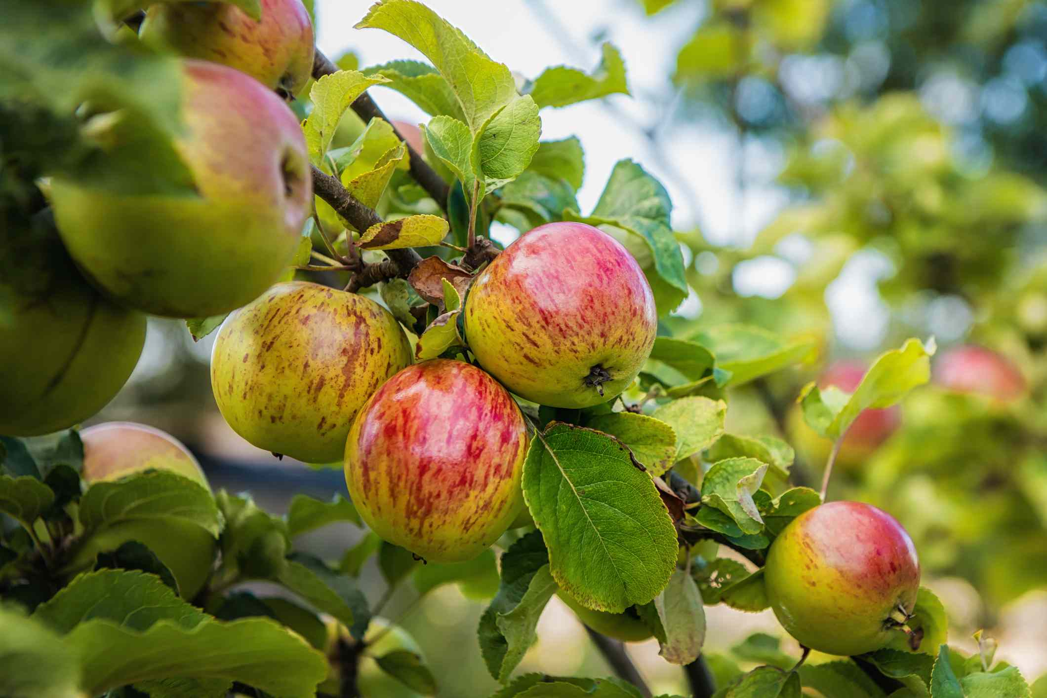 Close up of ripe apples hanging on a tree.
