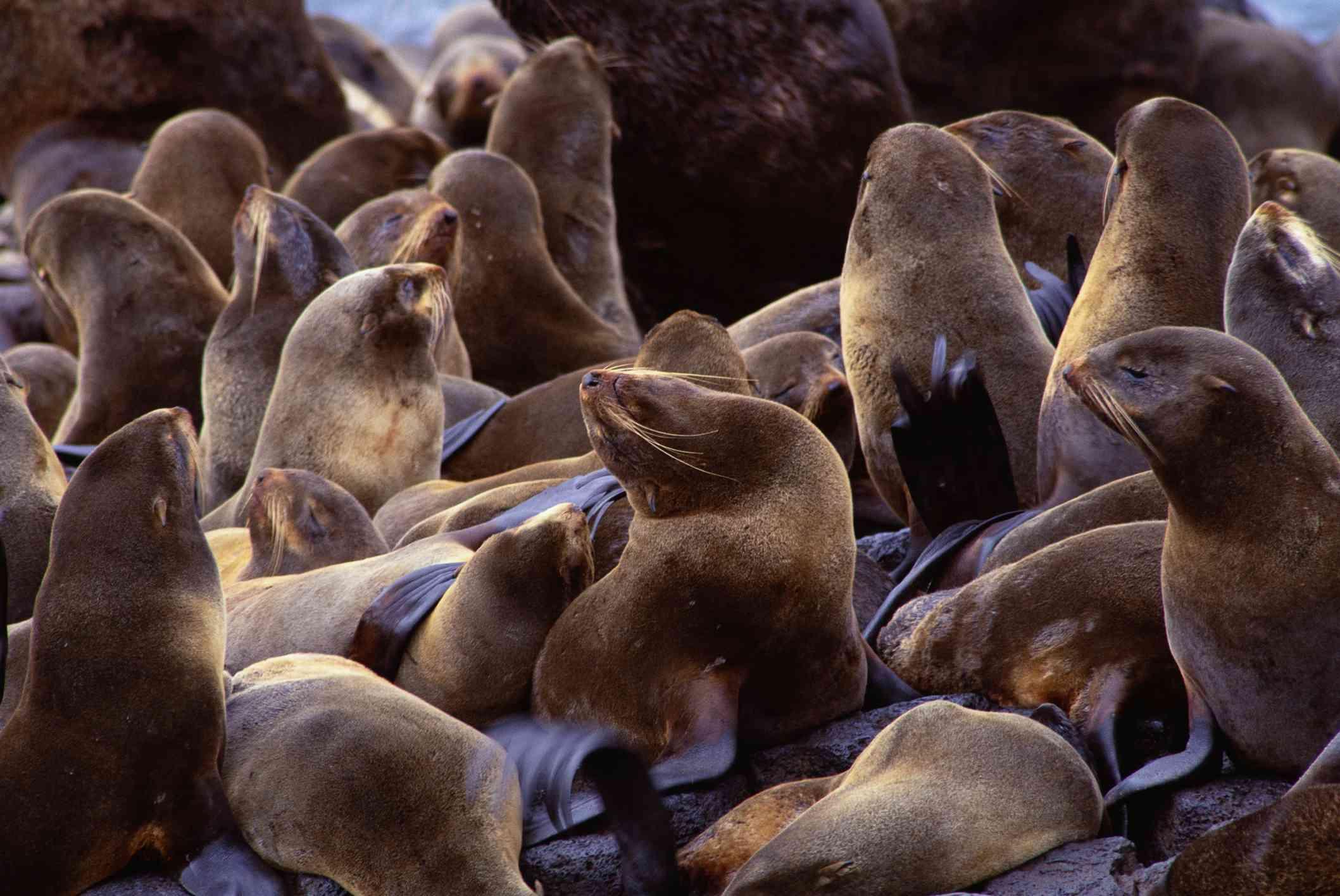Many fur seals sitting on rocks.