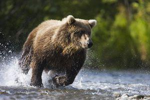 Grizzly bear running through a stream