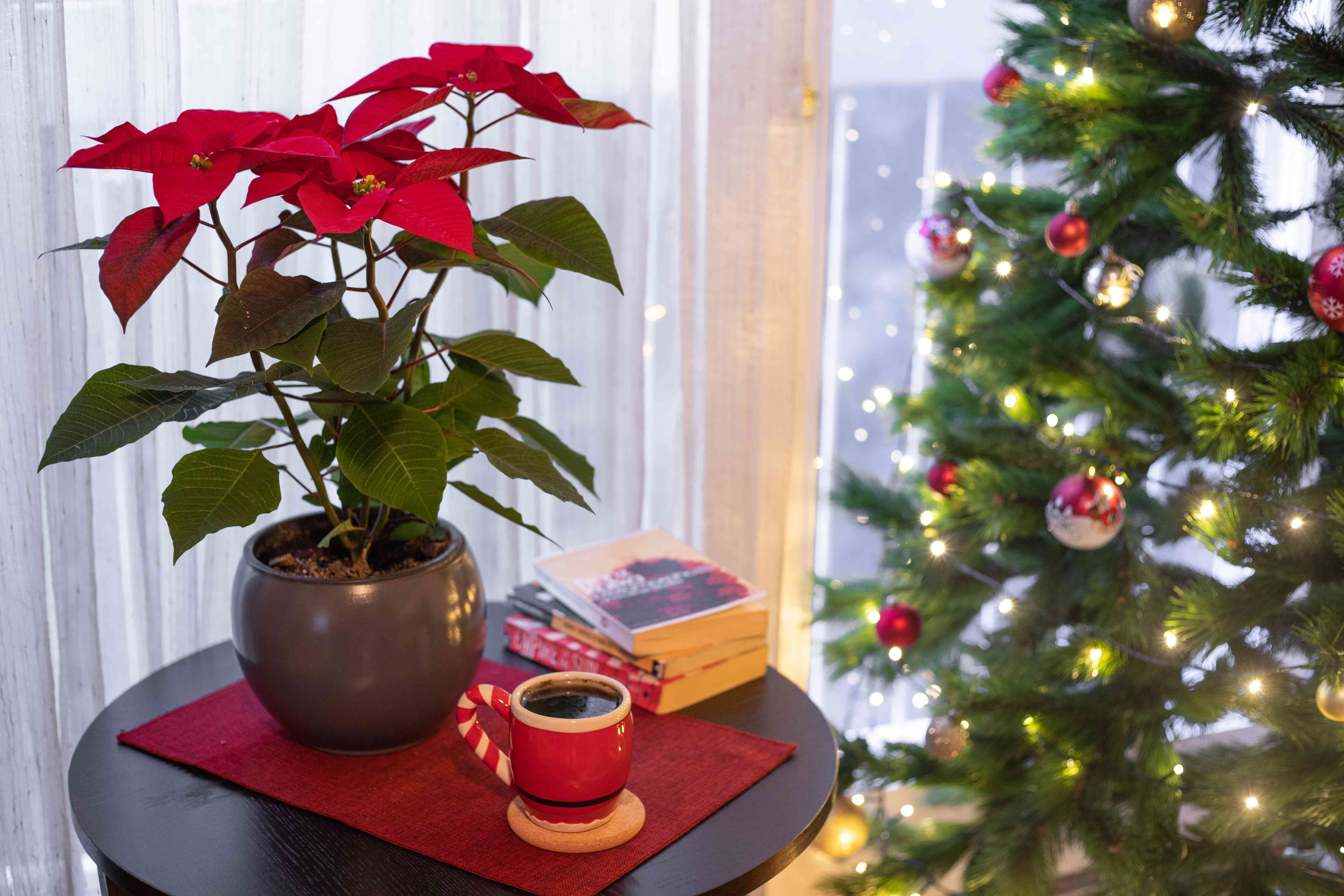 How Do I Keep Poinsettias Alive And Thriving For Next Christmas