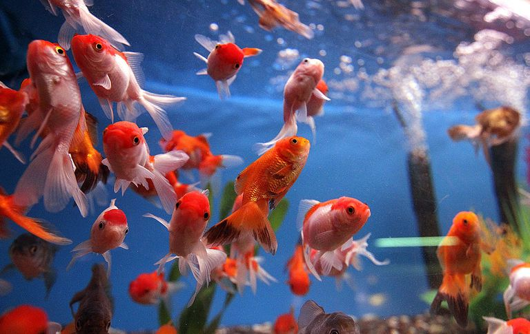 A school of goldfish swim in a tank.