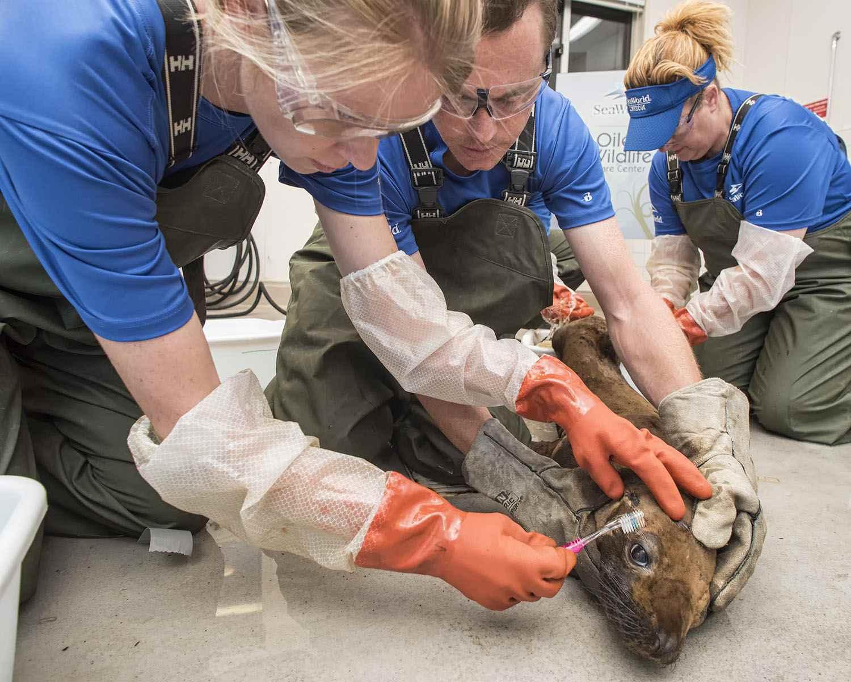 SeaWorld Cares for Oiled Sea Lion