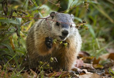 groundhog surrounded by dry leaves and small plants