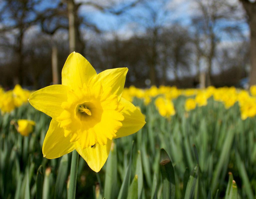 Daffodil blooming in a garden of daffodils