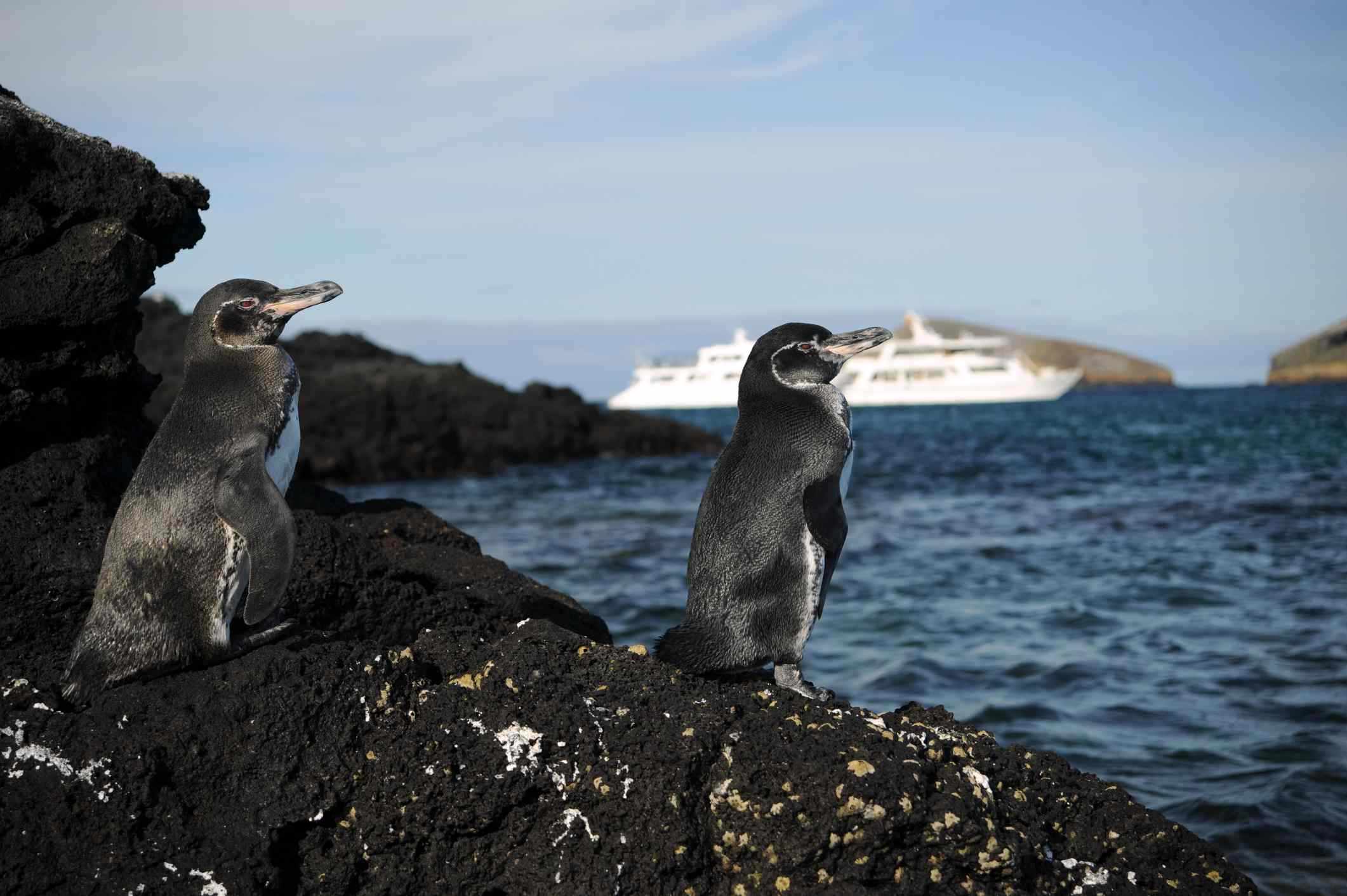 Two Galápagos penguins perched on a rock with a cruise ship in the distance