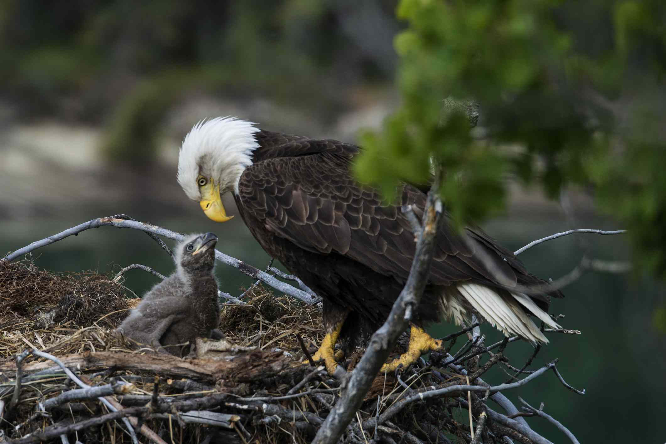 A bald eagle looking at a chick in a nest.