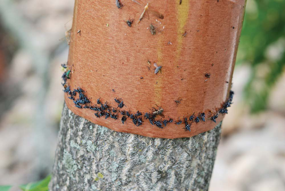 A tree banded with sticky tape to trap lanternfly nymphs as they emerge and start to move