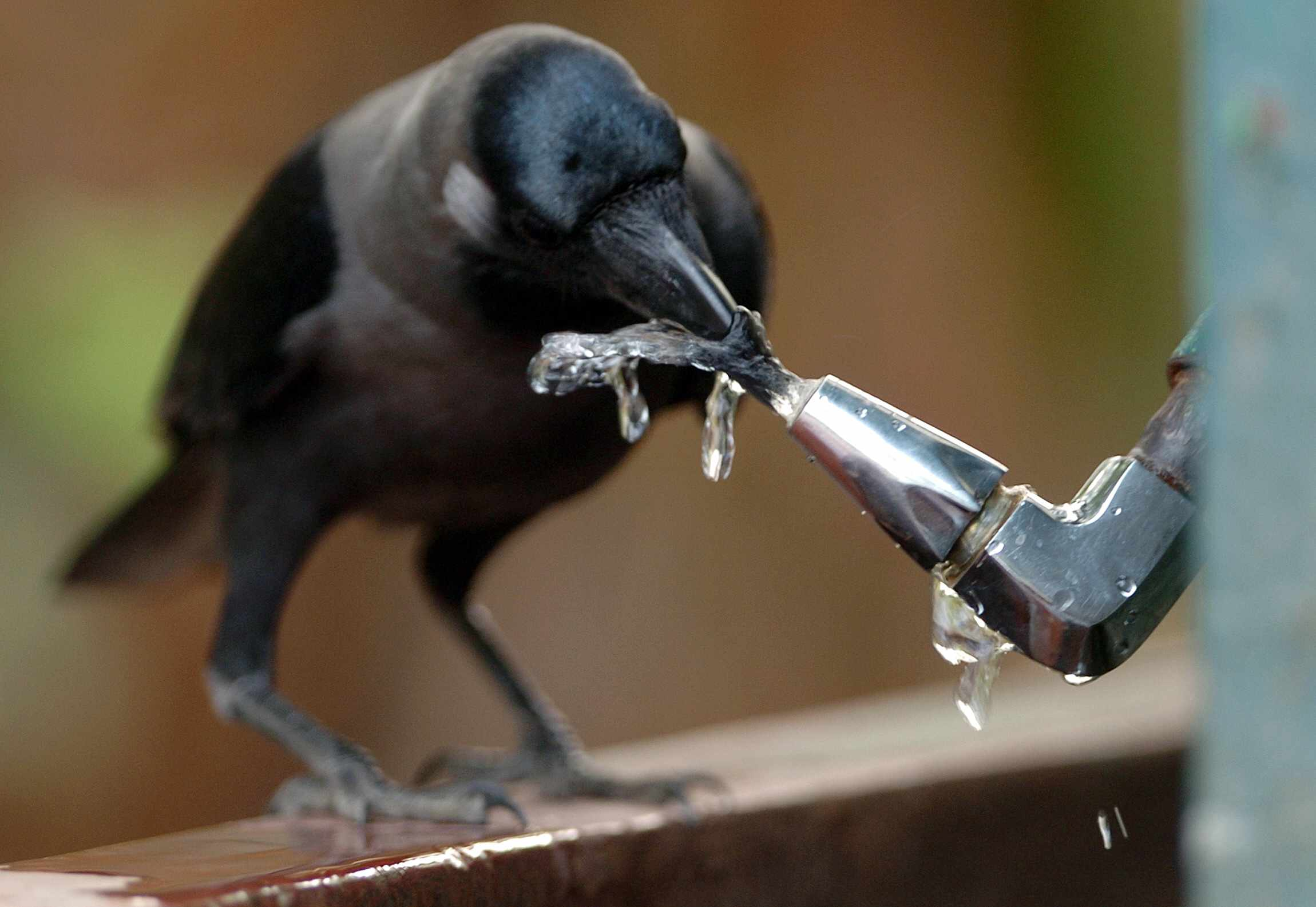 crow drinking from water fountain in Kolkata, India