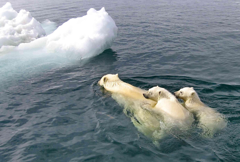 Polar bear family swimming toward sea ice.