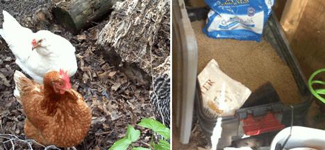 backyard chickens environmental impact photo