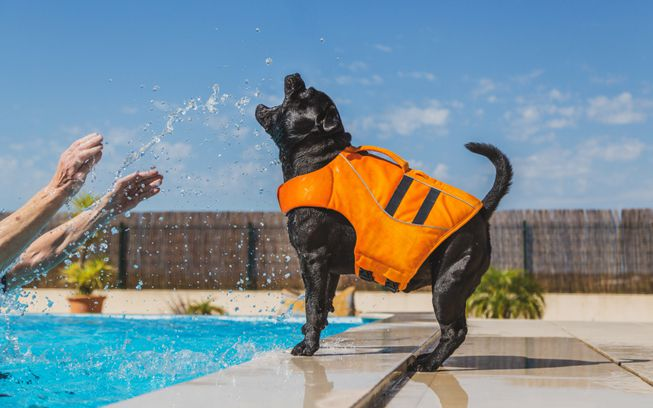 A dog wears a life jacket while biting at splashed water