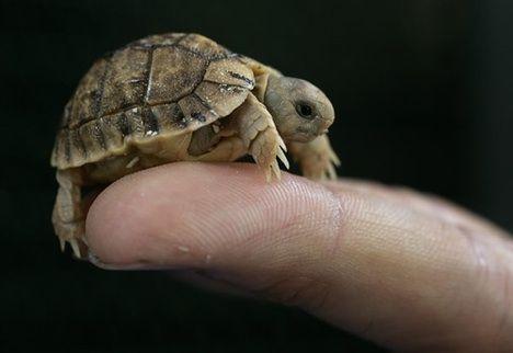 egyptian tortoise photo