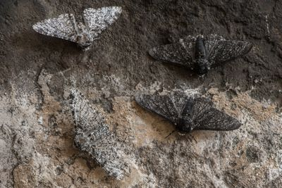 Light and dark peppered moths against a stone wall