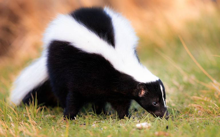 Striped skunk portrait, warm colors. Black and white stinky skunk.