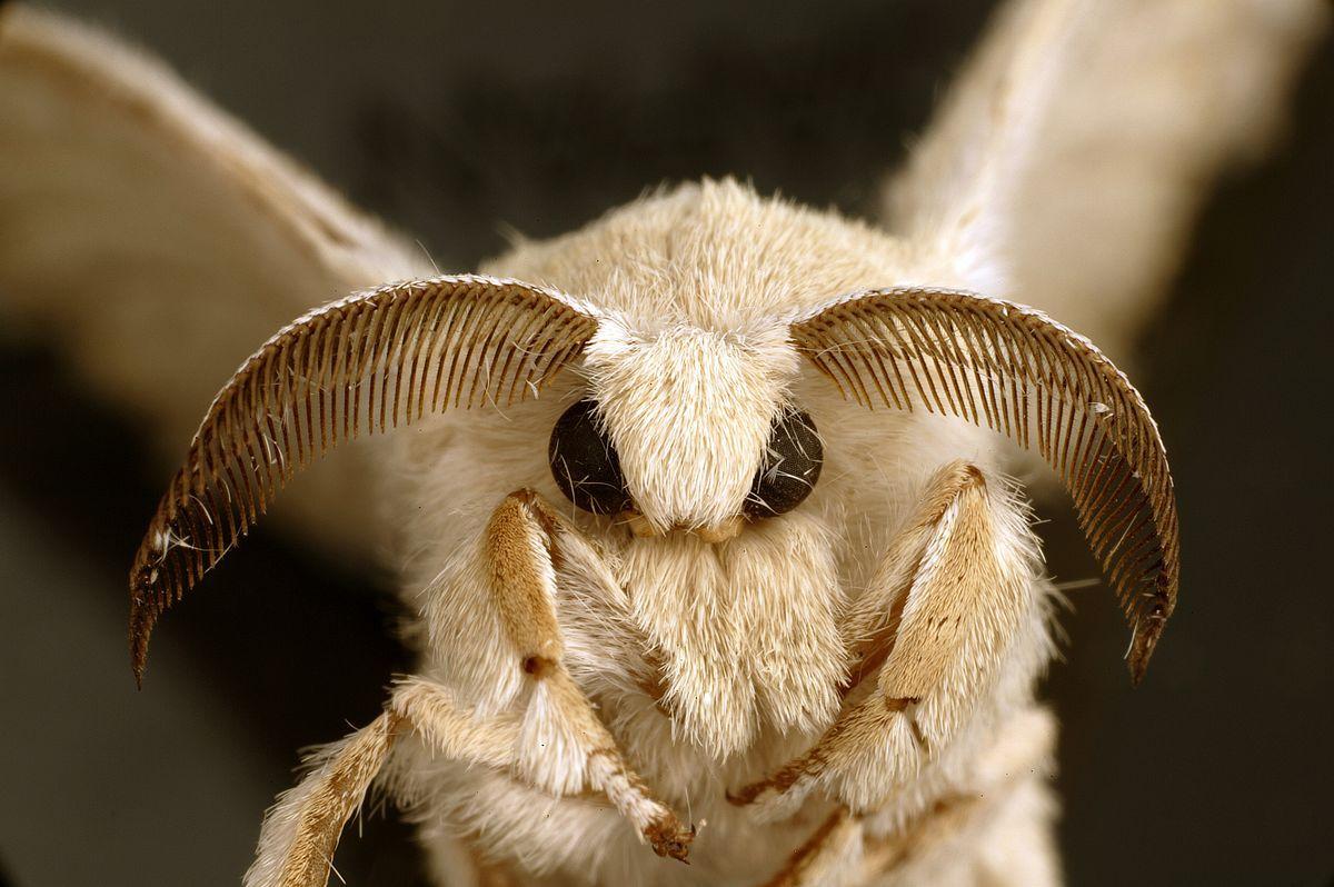 A silkworm moth close-up.
