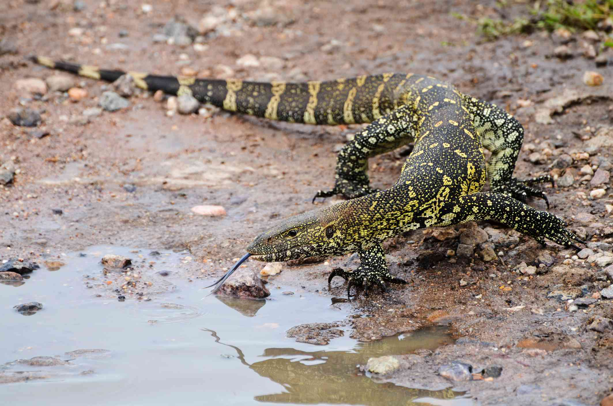 nile monitor lizard shows forked tongue near puddle