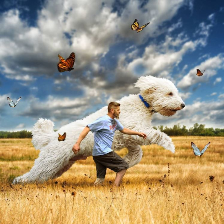 Photoshop magic super-sized poodle Juji runs with owner in field