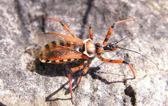 An assassin bug crawls on a rock