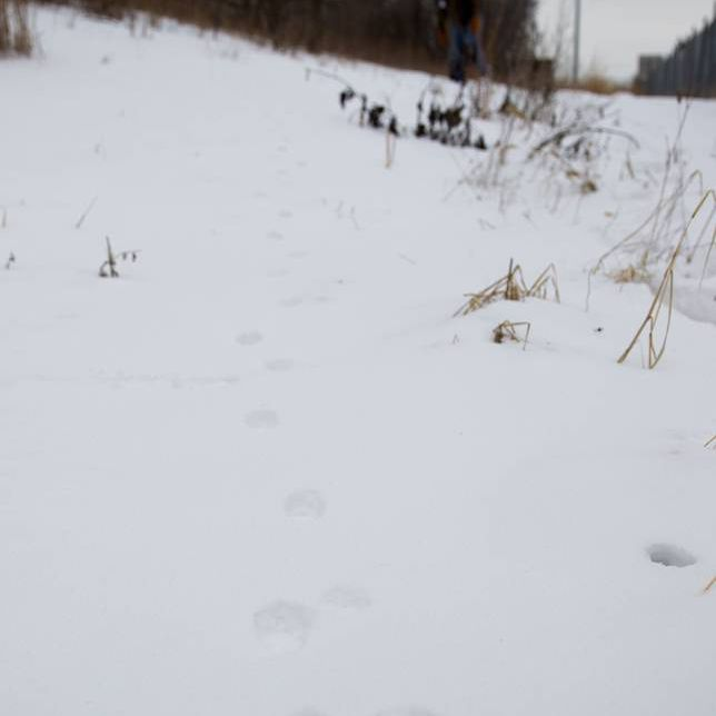 following fox tracks in the snow
