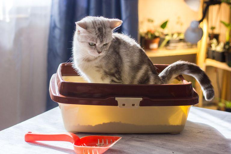 Parásito común de los gatos vinculado a cambios de personalidad en humanos