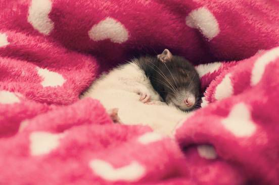 A rat sleeps in a heart blanket