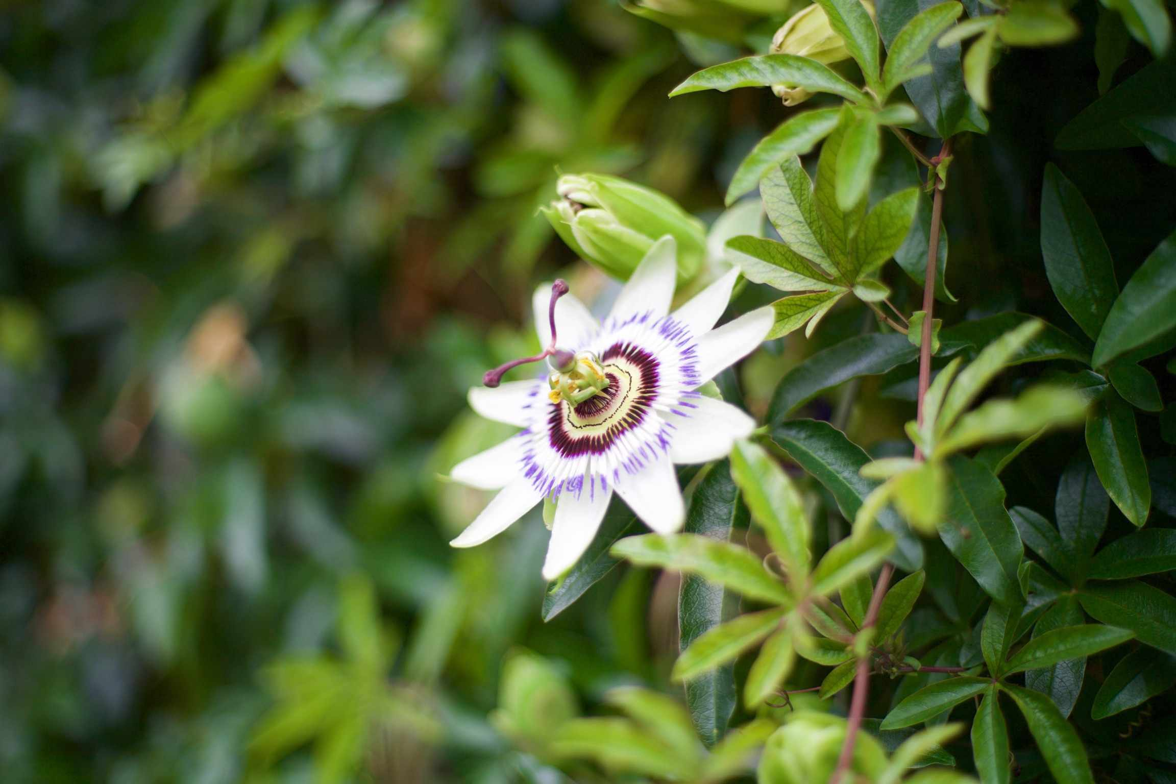 Close-Up Of Passion Flower Growing On Plant