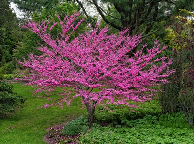 Pink flowers on a Redbud tree in a garden setting.