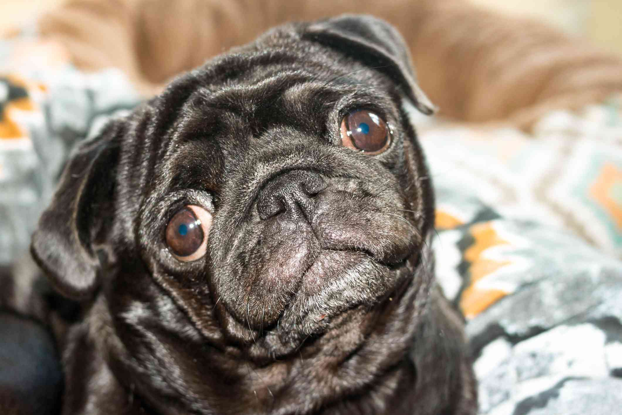 A pug tilting its head looking into the camera.