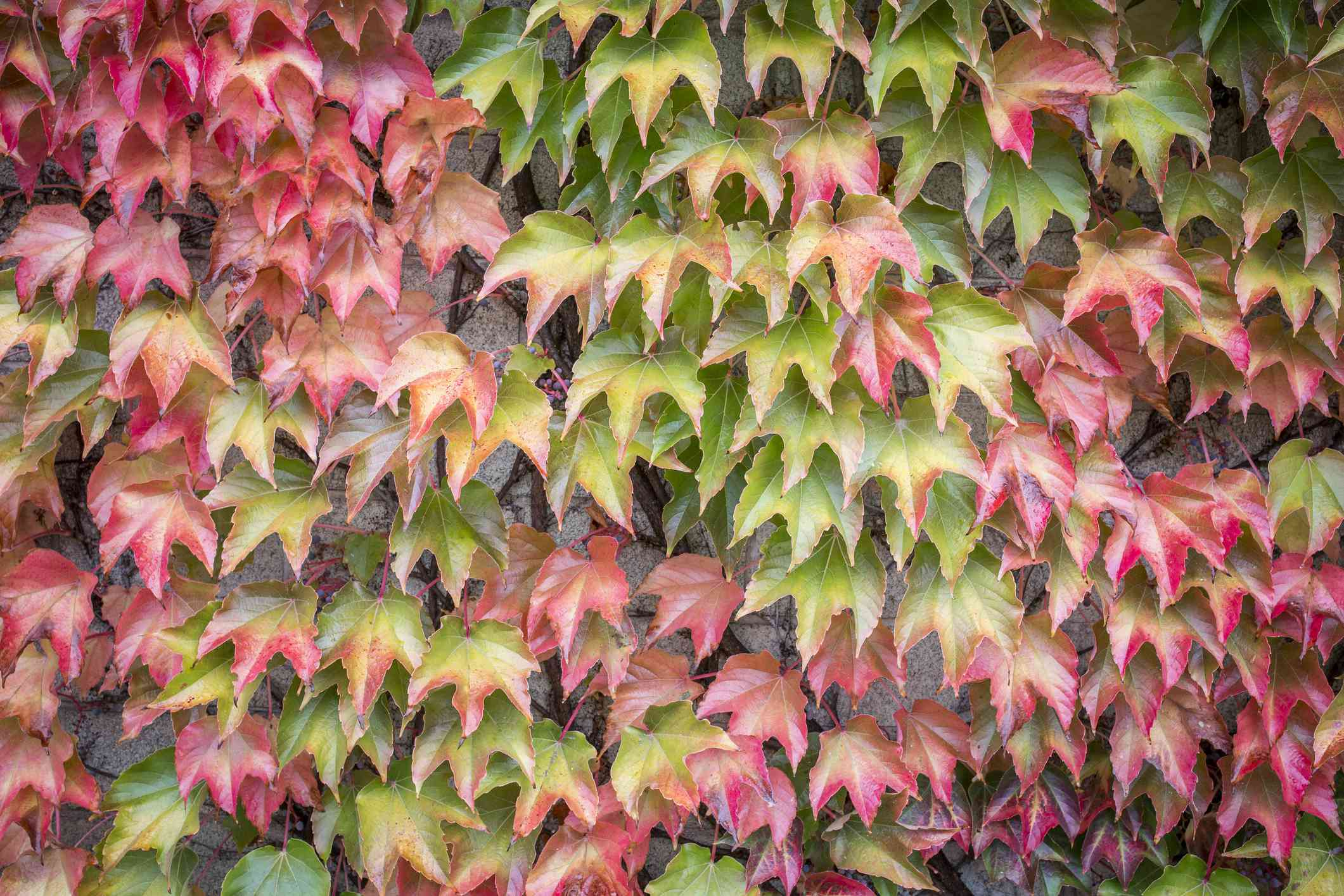 Autumn leaves of Virginia creeper