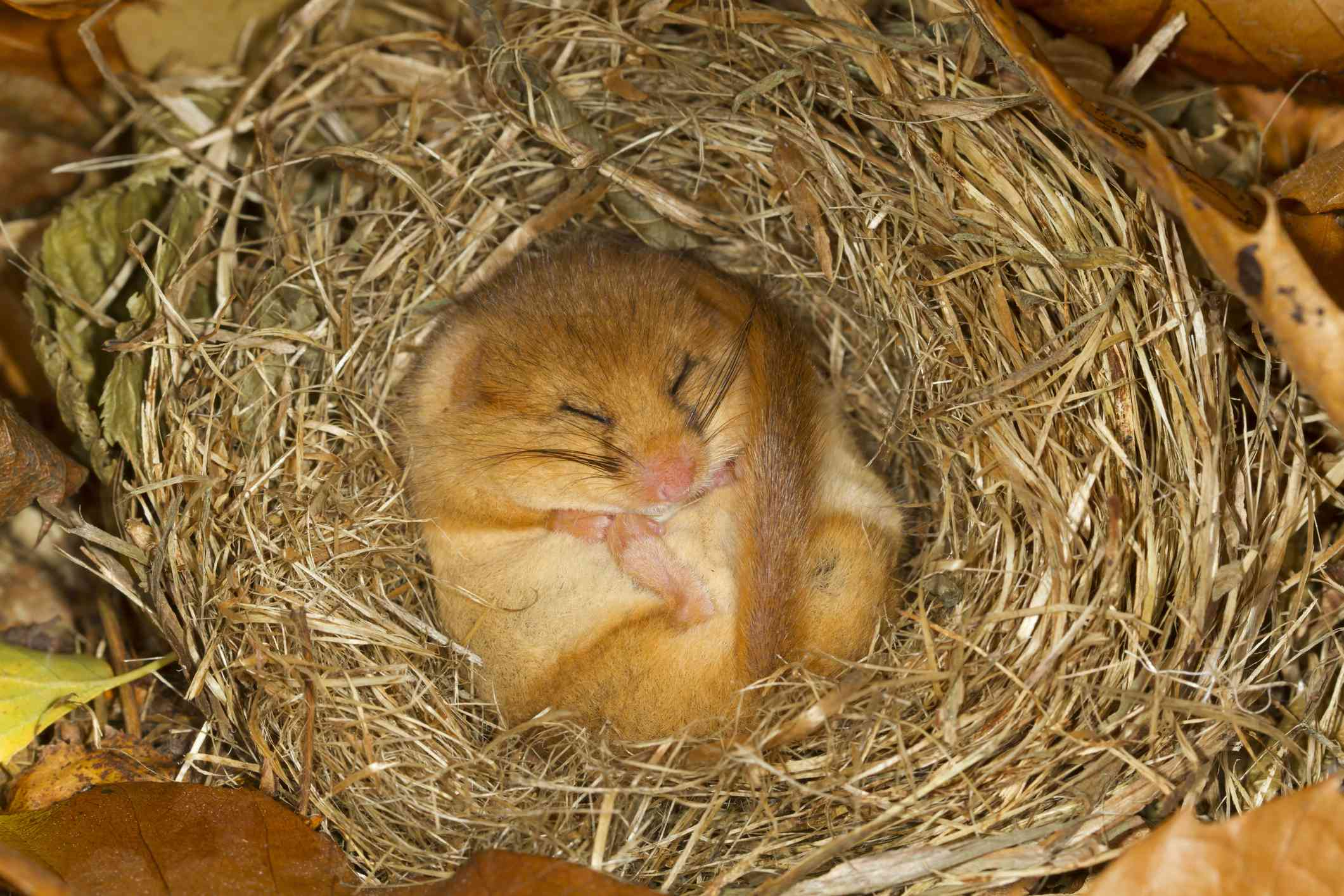 dormouse asleep in a nest on a bed of leaves