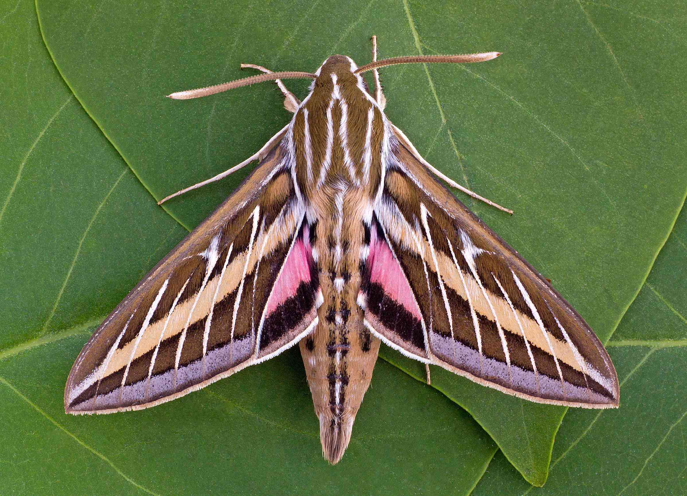 A brown and pink moth with white lines on its wings and abdomen