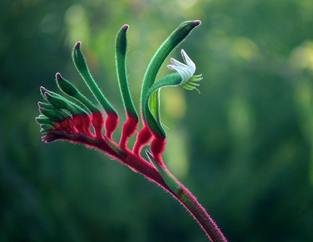 Red Kangaroo Paw plant