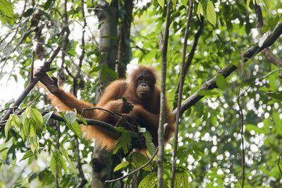 Orangutan sitting in tree in Borneo.