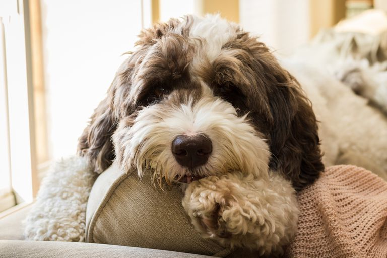 Labradoodle dog laying on a couch