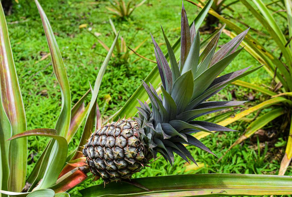pineapple grows on one plant near ground