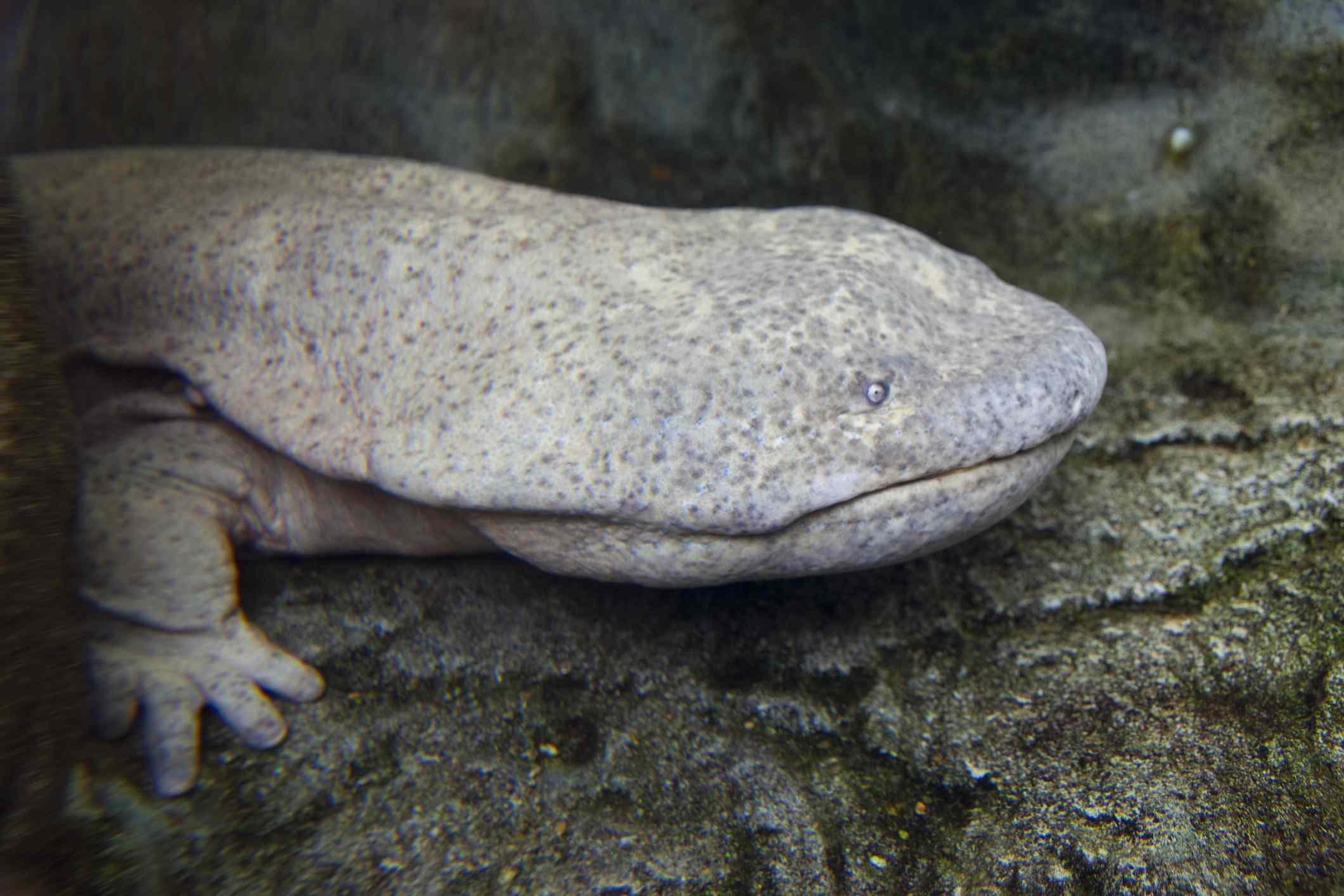 profile of gray Chinese giant salamander walking to the right