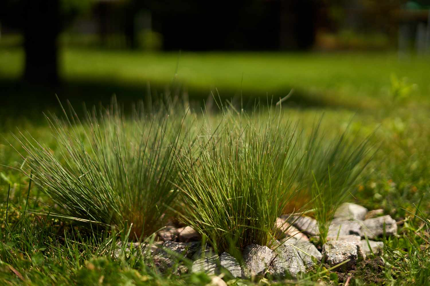 Cedar Sedge (Carex eburnea) grows in front yard surrounded by large rocks