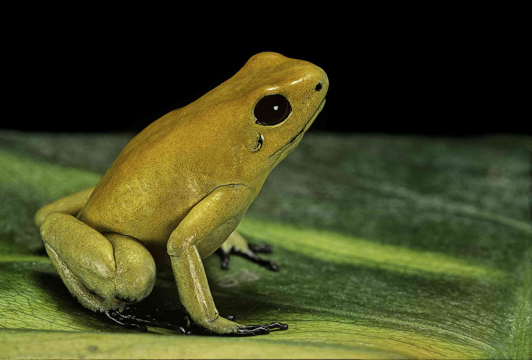 A golden poison frog (Phyllobates terribilis) sits on a green leaf